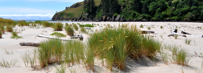 EuropeanBeachGrass3