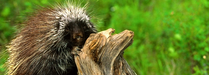 These Porcupine Facts Will Pique Your Interest - Bali Safari Marine Park | 250x690