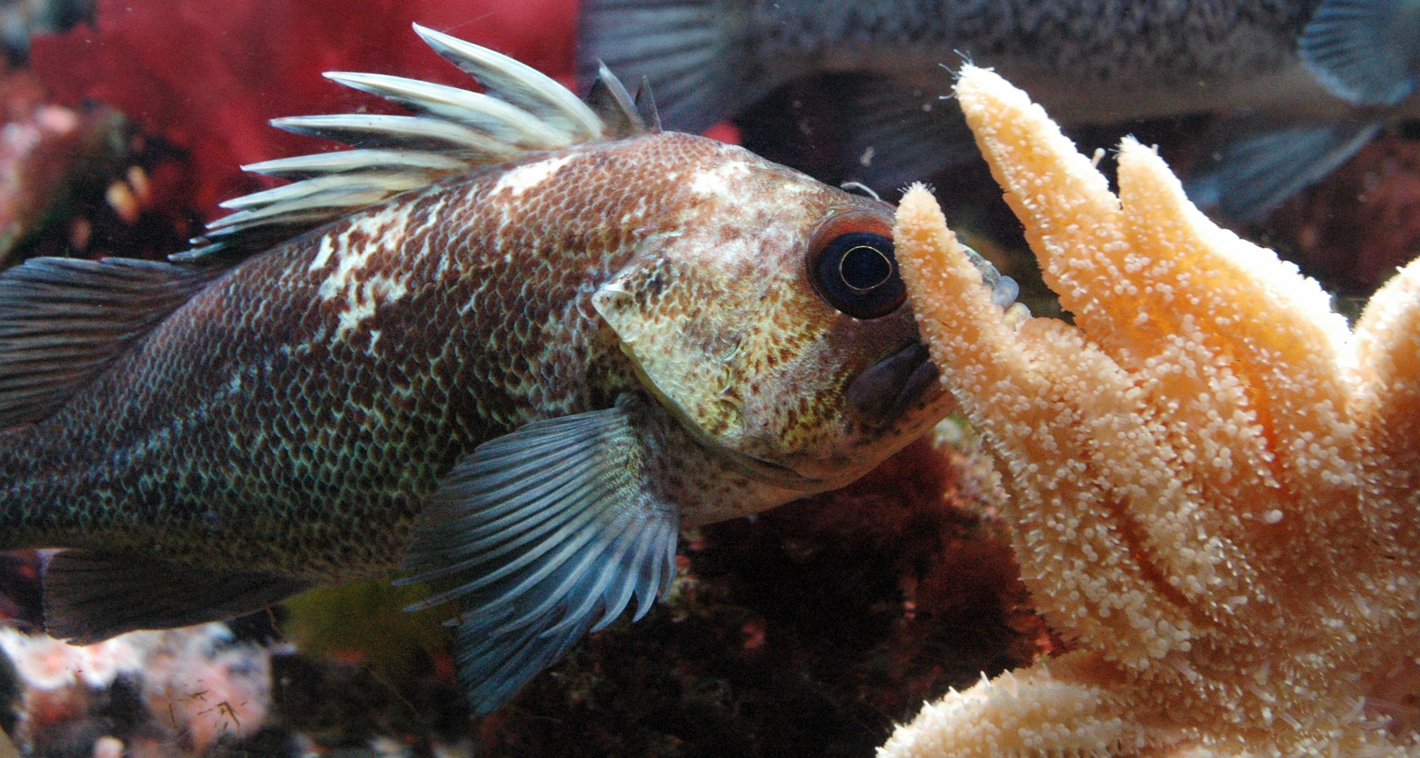 7 Reasons to Get Down with Rockfish Oregon Coast Aquarium