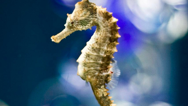 characteristics of the seahorse Other fascinating characteristics found in the seahorse are their amazing camouflage ability which enables them to change colour to match their habitat.
