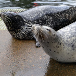 Boots (background) and Swap (foreground) are both Harbor seals, but have distinctly different coats.