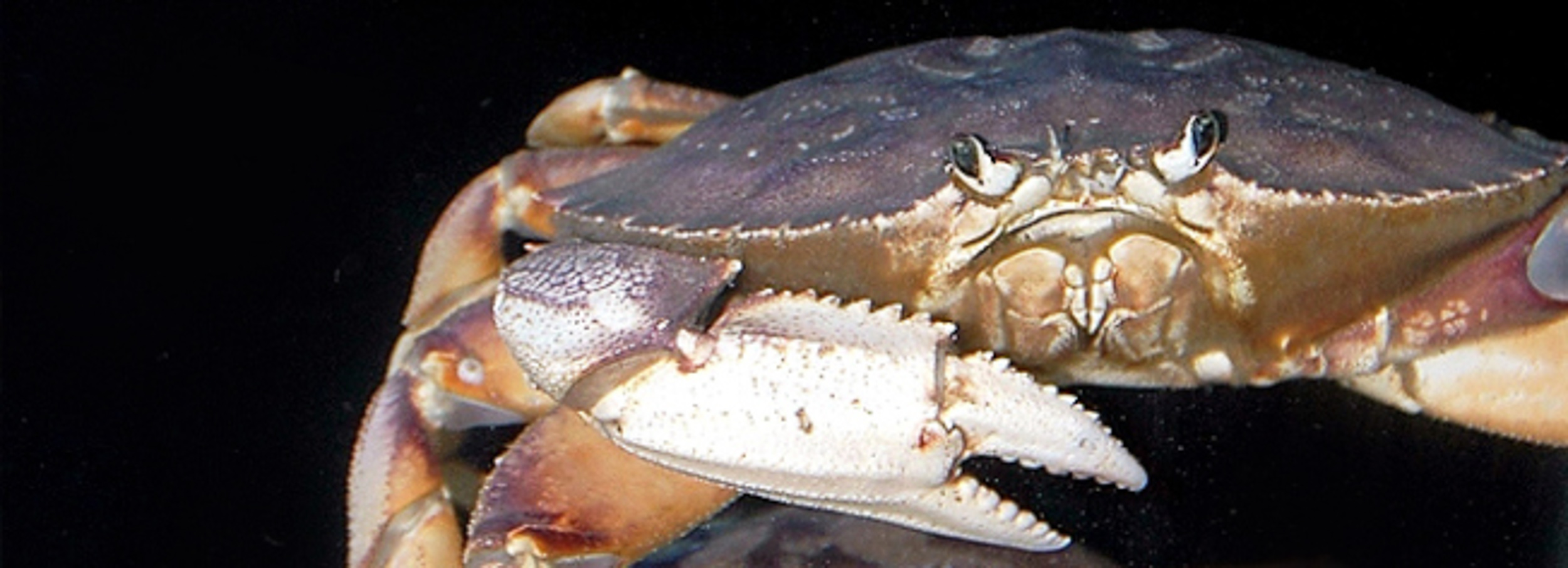 Crabs: The Amphibious Creatures of the Sea