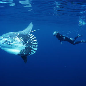 """Molas grow their tremendous size by eating jellies and other marine invertebrates. Pictured is Tierney Thys, a marine biologist and science educator, who studies the behavior of the Mola mola, or giant ocean sunfish, and makes films with other scientists to share the wonders they see. Photo credit: www.smithsonianmag.com """"Sunfish"""""""