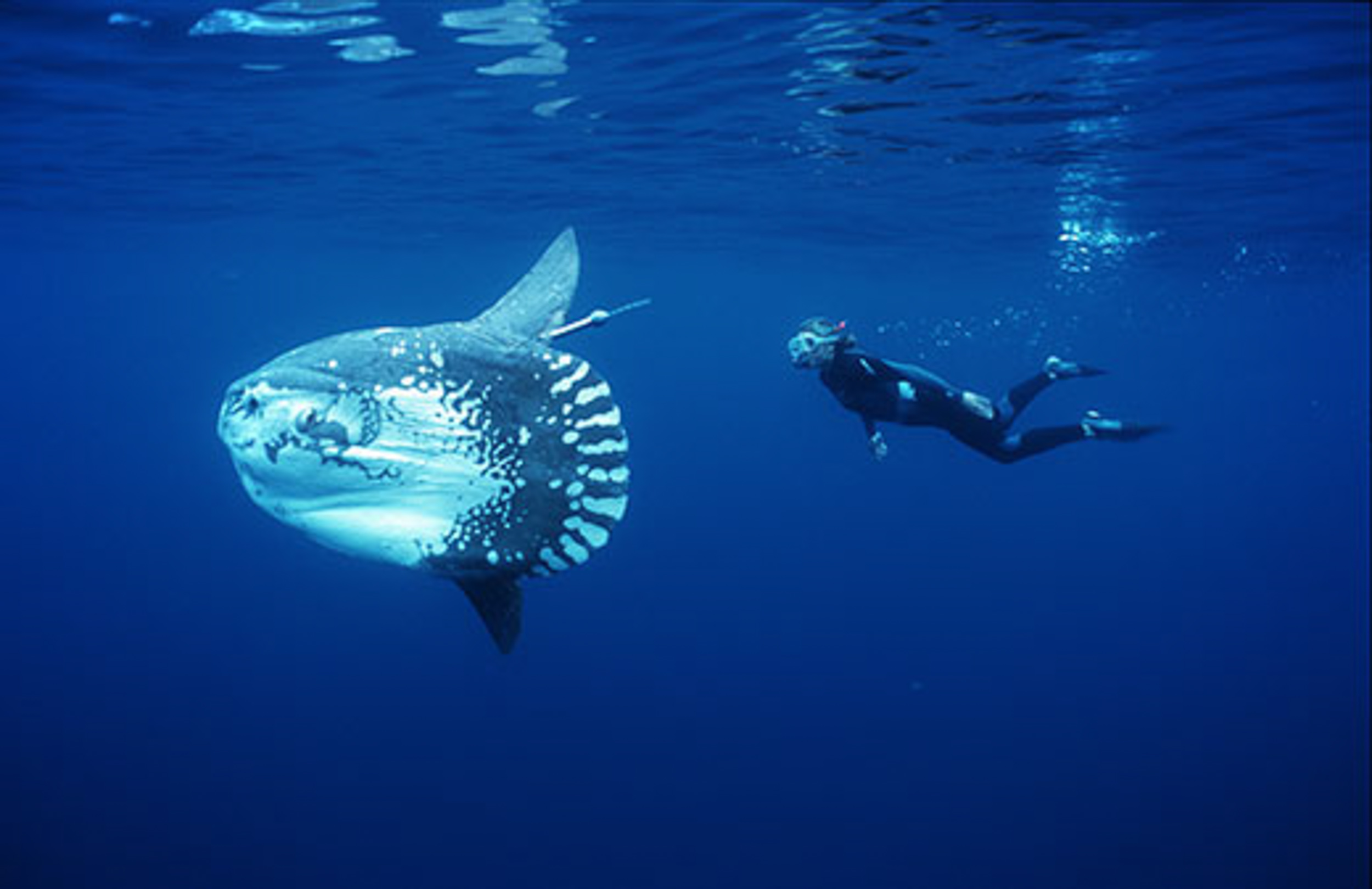 Pacific sea nettles beautiful blind and brainless for Mola mola fish