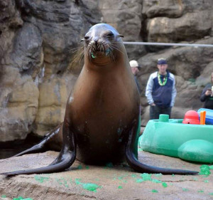 Quill the California sea lion made a bit of a mess slurping up the green gelatin she was treated to in honor of St. Patrick's Day.