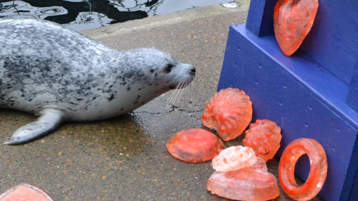 Swap the harbor seal surveys a selection of Valentine's Day themed ice treats for her to choose from.