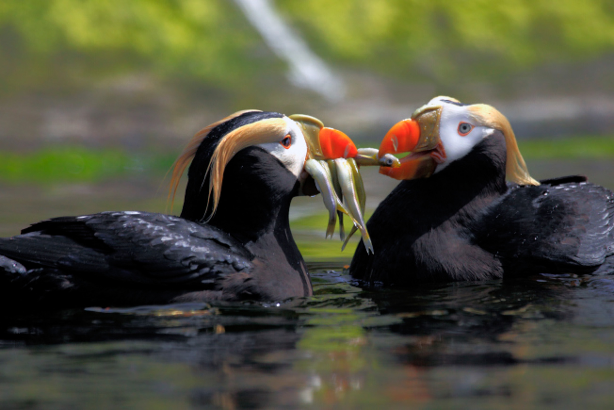 A Tufted Puffin Pair Share Fish They Collected From The Bottom Of One Two Pools
