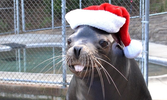Max the sea lion in a Santa hat Sea of Lights - web