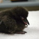 tufted_puffin_chick